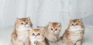 Cins Kedi Fiyatları 2021